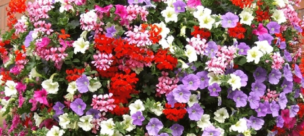 <p>Geranium surfinia mix</p>
